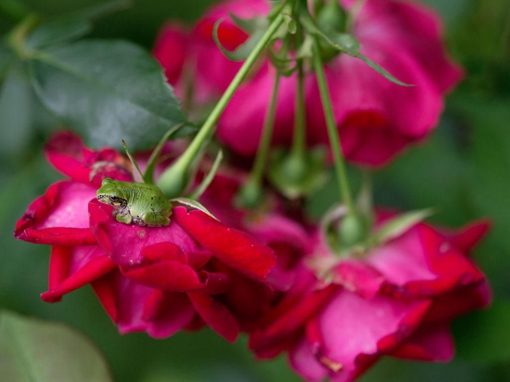 rose_frog