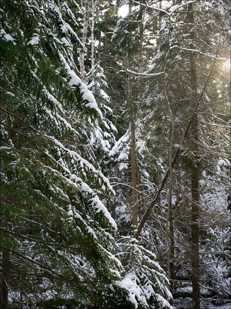 life_in_maine_forest_after_snow