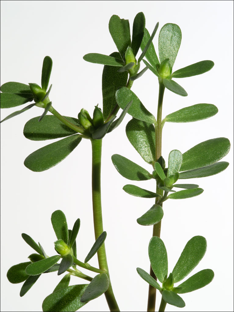edible_weeds_purslane