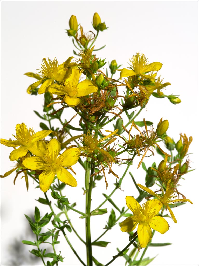 edible_weeds_st_johns_wart