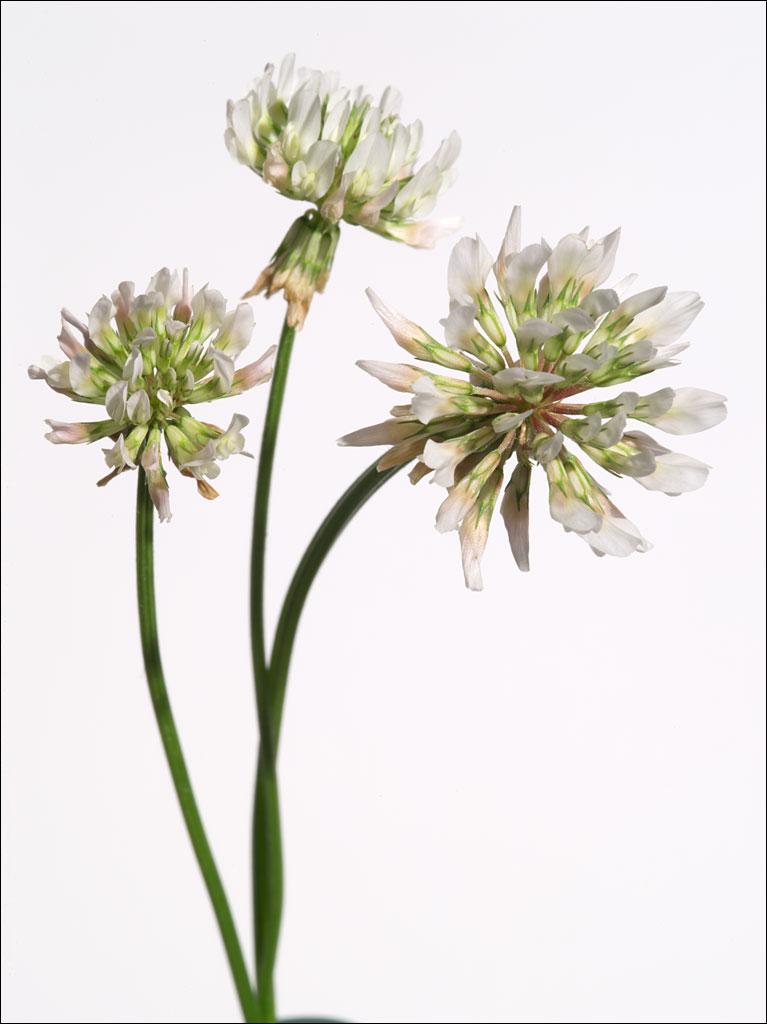 edible_weeds_white_clover