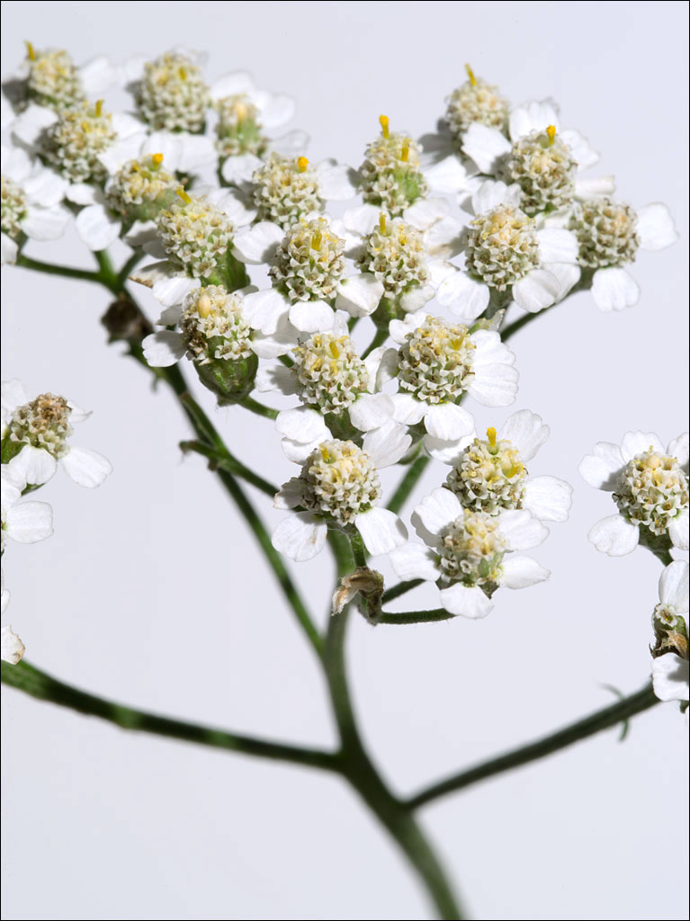 edible_weeds_yarrow2