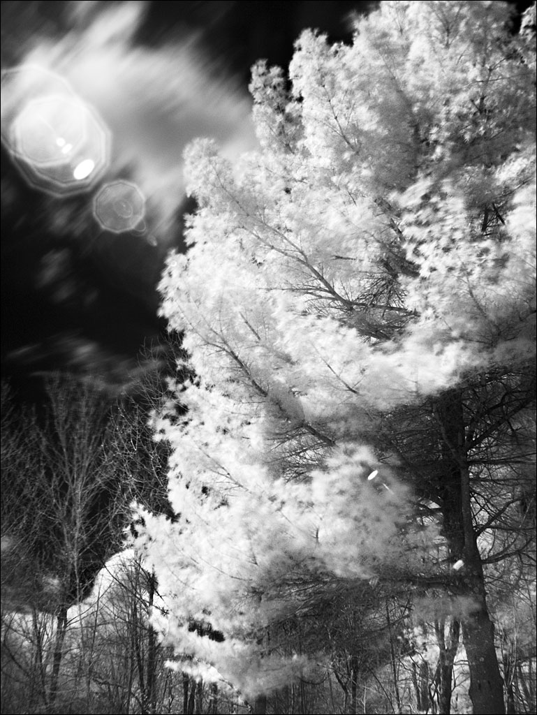 life_in_maine_ir_white_pine2