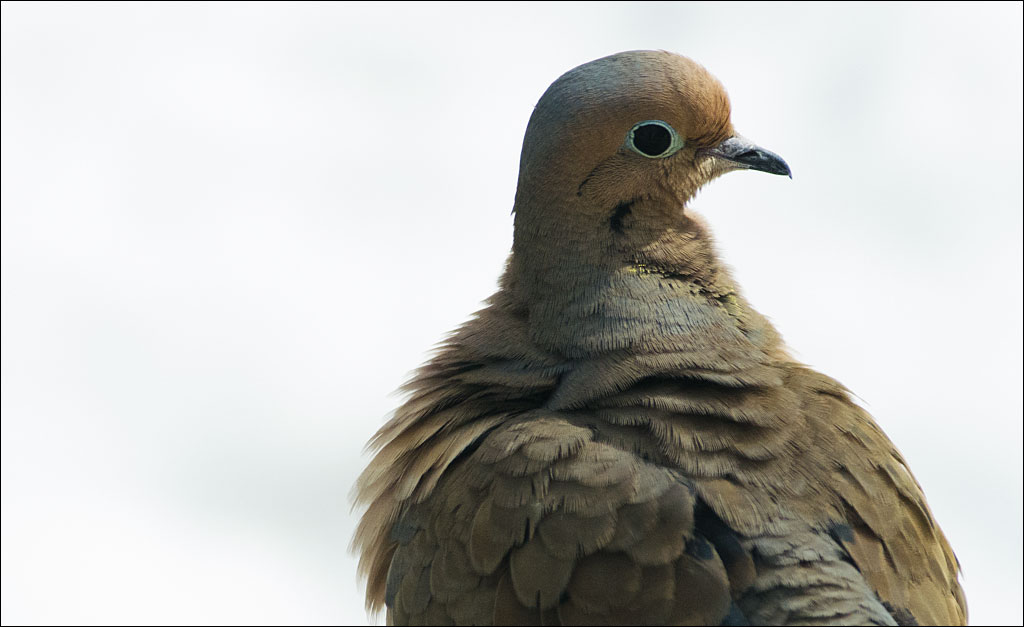 life_in_maine_mourning_dove