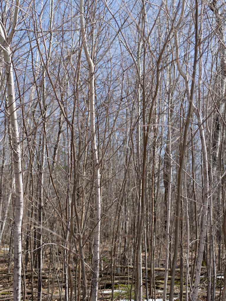 life_in_maine_april_saplings