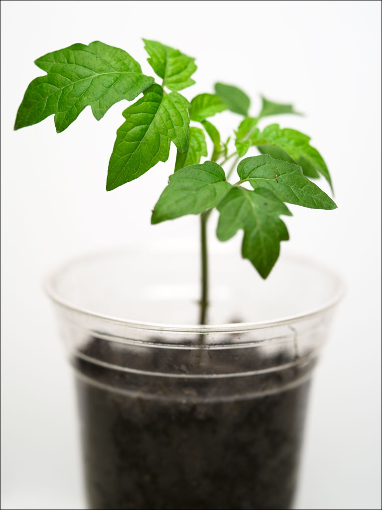 life_in_maine_tomato_plant_2014