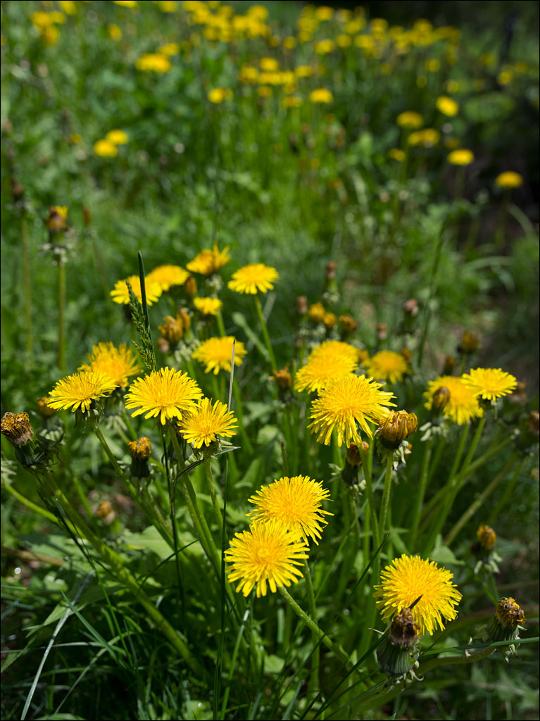 edible_weeds_dandelion_1