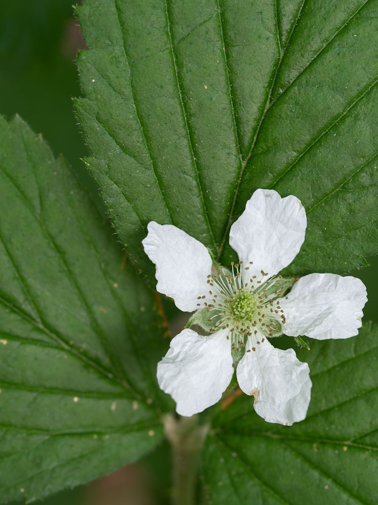 edible_weeds_blackberry_blossom