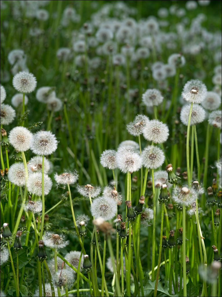 edible_weeds_dandelion_4