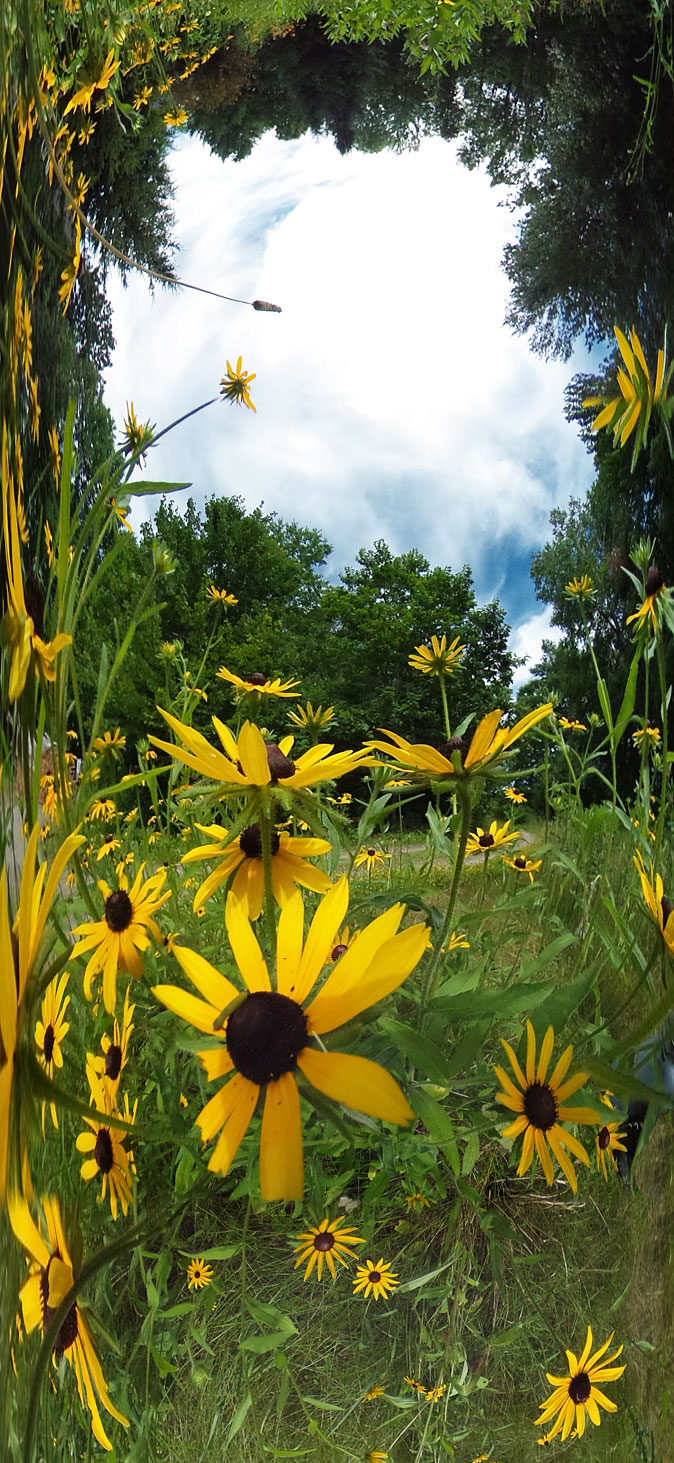 life_in_maine_black_eyed_susan_lawn
