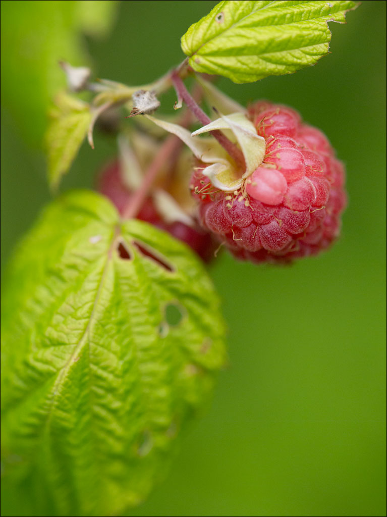 life_in_maine_raspberries_2