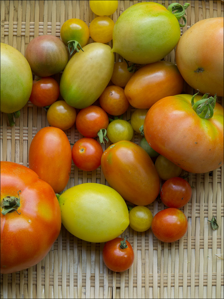 life_in_maine_tomato_harvest_2014
