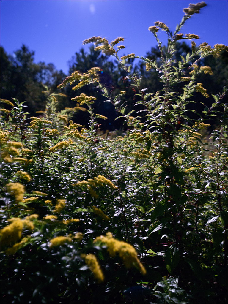 life_in_maine_full_moon_goldenrod