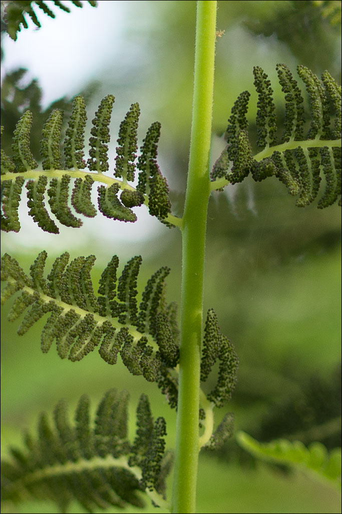 life_in_maine_interrupted_fern2