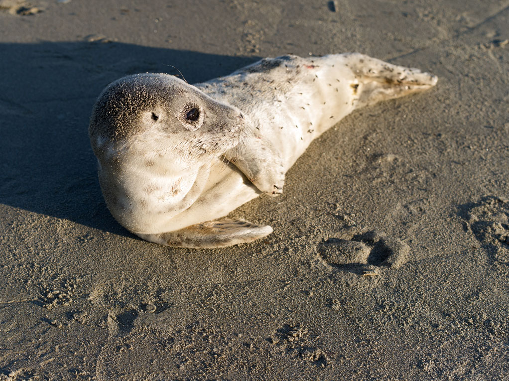 life_in_maine_seal_pup