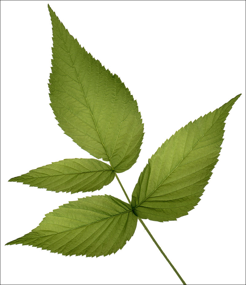 edible_weeds_raspberry_leaf
