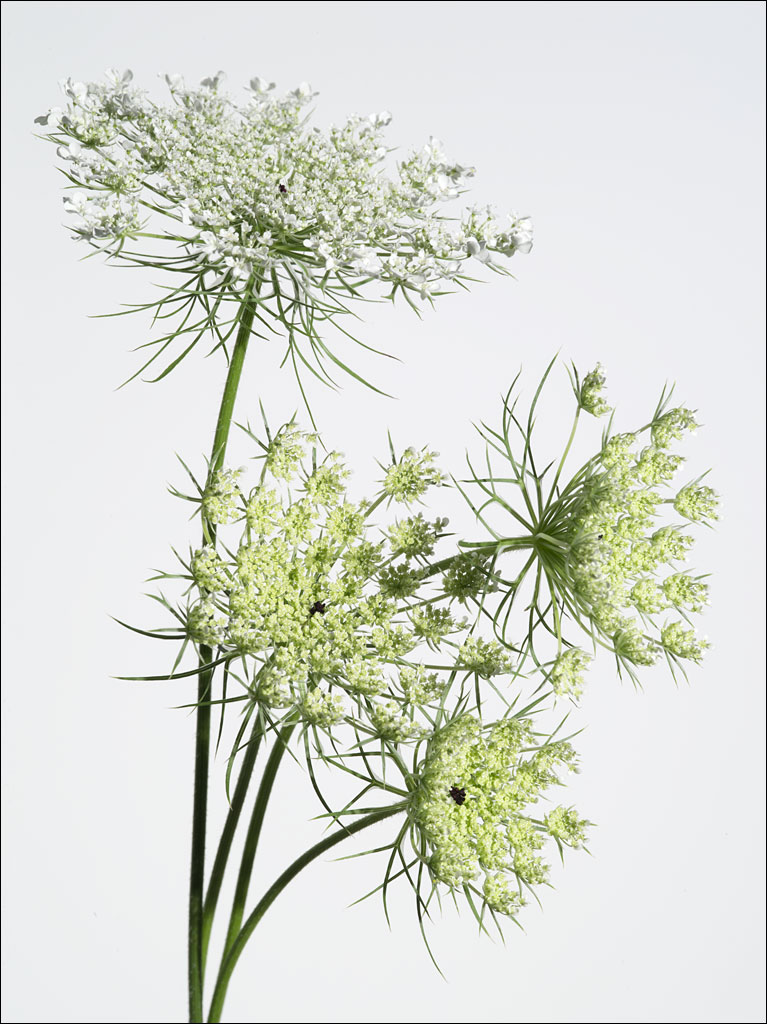 edible_weeds_queen_annes_lace_1