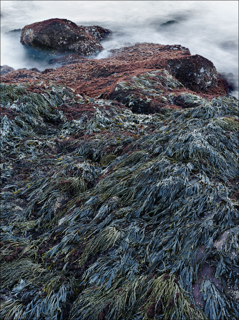life_in_maine_seaweed