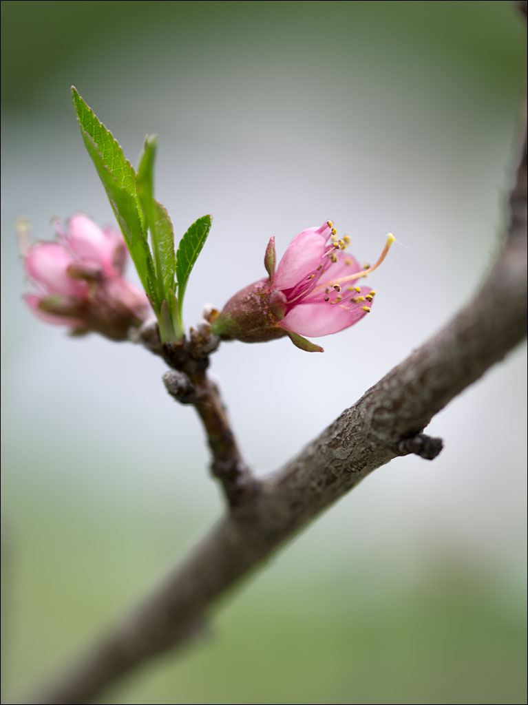 life_in_maine__peach_blossoms