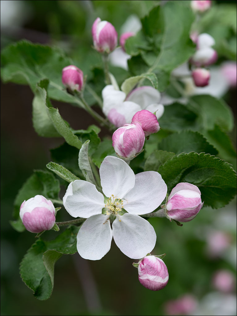 life_in_maine_apple-blossoms