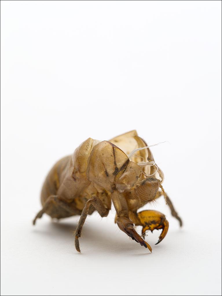 life_in_maine_cicada