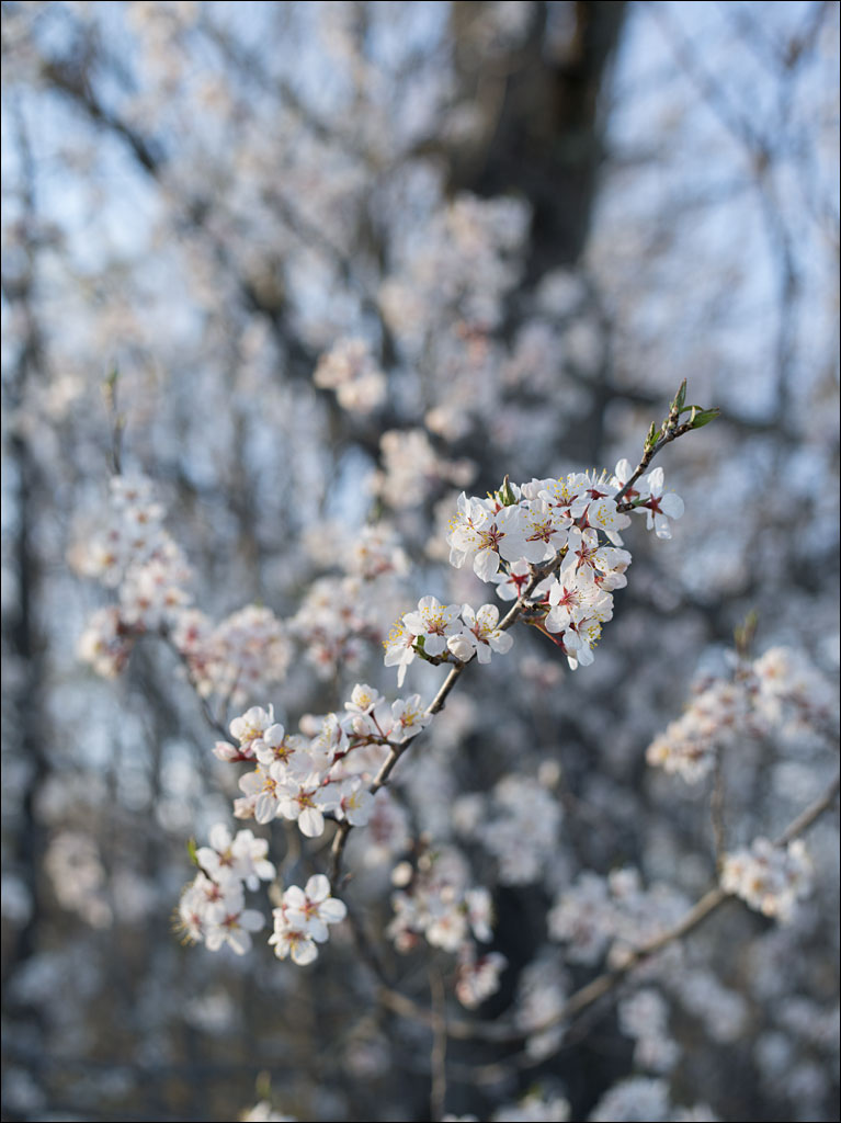 life_in_maine_plum_in_bloom