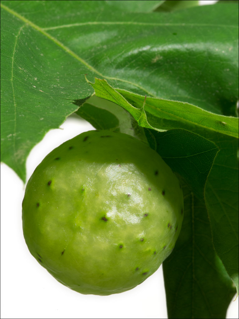 life_in_maine_oak_apple_gall