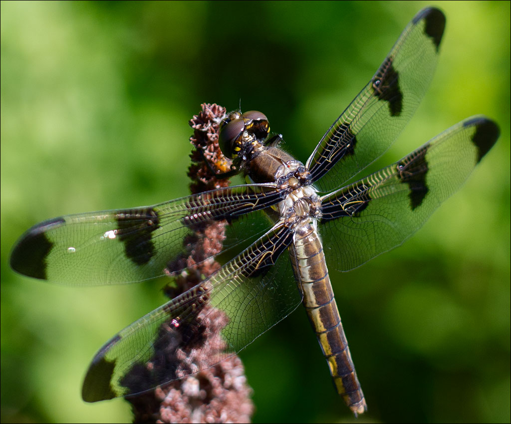 life_in_maine_dragonfly_3