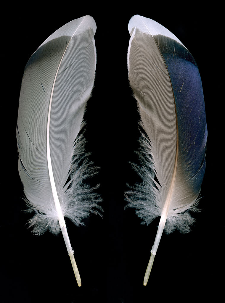 life_in_maine_mallard_feather